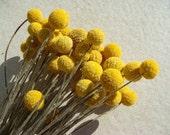 100 billy balls yellow craspedia balls dried STEMS / bouquet boutonniere rustic wedding dried flower yellow flower