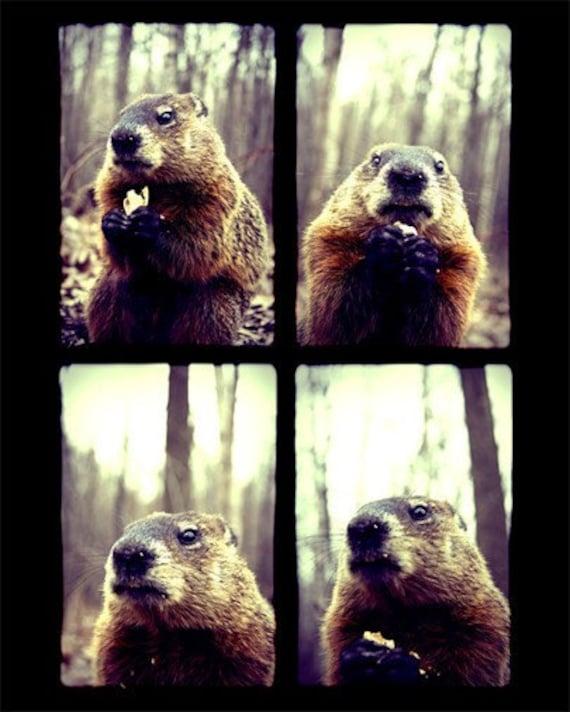 Animal Photography - Marmot Posing - Wildlife Print - Groundhog Day - Nature Wall Art - Funny Animal