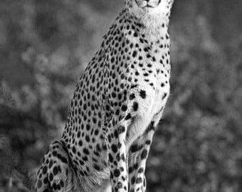 Cheetah - Fine Art Photograph 5x7 8x10 11x14 16x20 24x30