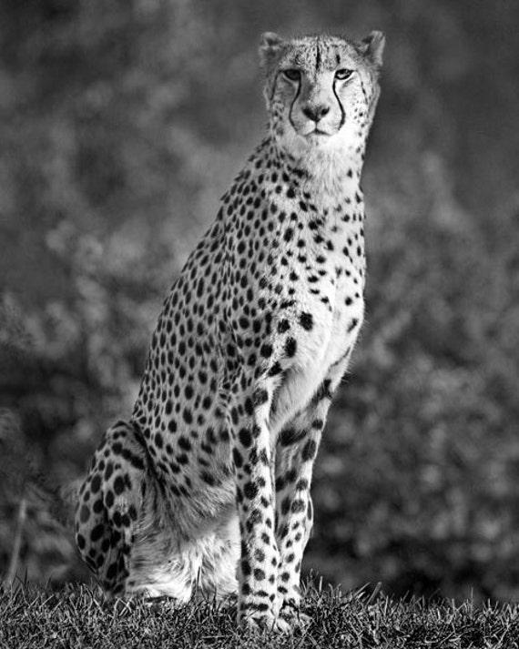 Cheetah - Fine Art Photograph 5x7 8x10 11x14 16x20 24x30