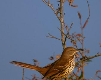 A Brown Thrasher Faces the Setting Sun Fine Art Bird Photo