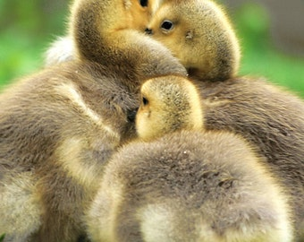 Cute Baby Geese Family Hug Nature Photography