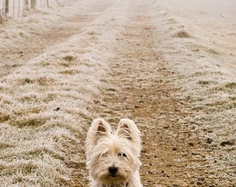 I am Crumpet 1 - Westie - West Highland terrier - Dog Photography - Wall Décor