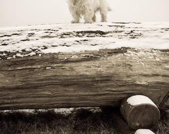 I am Crumpet 3 - Westie - West Highland terrier - Dog Photography - Wall Décor