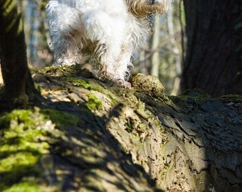 I am Crumpet 4 - Westie - West Highland terrier - Dog Photography - Wall Décor