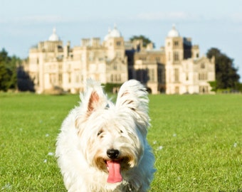 I am Crumpet 7 - Westie - West Highland terrier - Dog Photography - Wall Décor