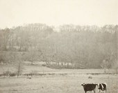 """Cow Photograph (Black and White) - Cow Bovine Photo- Vintage Inspired - Home Decor - Rustic - Fine Art Photograph 8x8 - """"How Now Two Cows"""""""