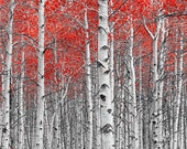 Birch Tree Grove Forest with Red Leaves No.0642.2 - A Fine Art Landscape Wall Decor Photograph