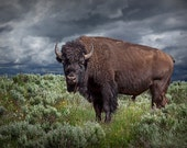 American Buffalo Bison Wild Animal in Yellowstone National Park  in Wyoming No.3586 - A Wildlife Animal Landscape Nature Photograph