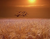 Gulls flying over a Golden Wheat Field at Sunset in Michigan Bird Landscape Color Fine Art Landscape Photography