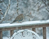 Mourning Dove during a Snowstorm - A Fine Art Photograph