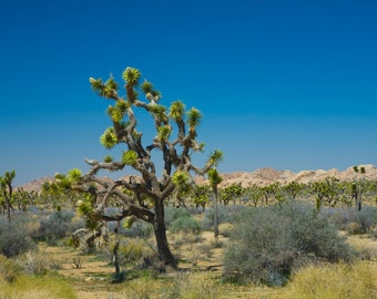 Joshua Trees Number 339, a Fine Art Photograph