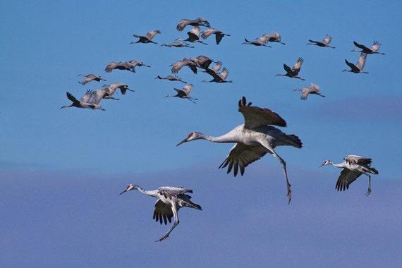 Migrating Sandhill Cranes in Flight near Richland in Southwest Michigan No.404 - A Fine Art Bird Nature Photograph