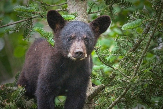 Wild Black Bear Cub at the Vince Shute Wildlife Sanctuary in Northern Minnesota No.349 - An Animal Wildlife Nature Photograph