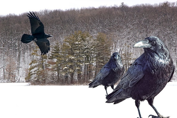 Black Ravens and the Winter of Discontent on a Snow covered Frozen Lake A Fine Art Landscape Bird Fantasy Surreal Photographic Composition