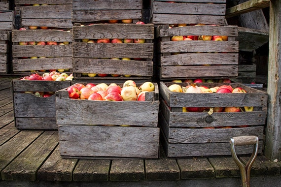 Crated Fall Apples waiting for the Cider Press at Bowen's Mill near Yankee Springs in Michigan No.0065 A Fine Art Still Life Photograph