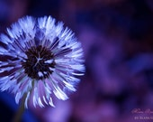 IN STOCK- Violet Dandelion- Fine Art Photography print 5x7 by Alana Gillett- Violet Amethyst Indigo White Macro Flower Wall Art Home Decor