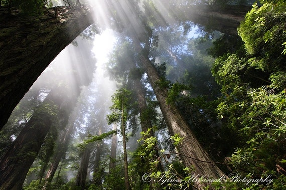 Nature Photography Travel Photography Redwoods California Tree Photo Forest Picture Woodland photography Wall Art Fine Art Photography Print