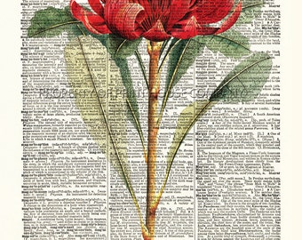 """Waratah, red flower, dictionary print, vintage botanical illustration, printed on an 8.5""""x11.5"""" antique dictionary page"""