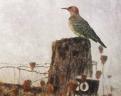 Flicker, Woodpecker, Bird Art, Rustic, Original Painting, Nature, Old Fence, Fall, Art Print