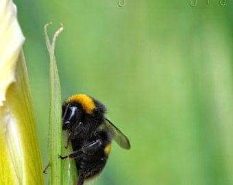 Bee on iris  Fine Art Photography Download