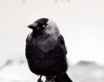 Jackdaw  Fine Art Photography Download