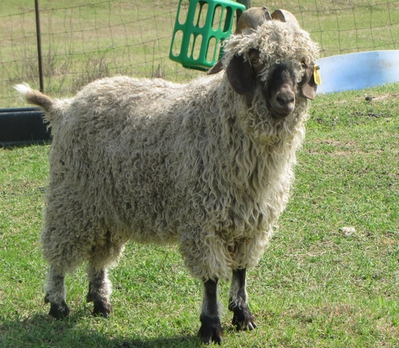 """Washed Angora Goat Mohair Locks in All Natural """"Wheat,"""" Dark Cream Color -- Featured in the September 2012 Phat Fiber box"""