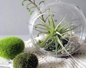 Green Layers Tillandsia Terrarium