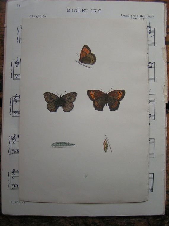 Vintage Brown Butterfly Botanical Print from an 1880's book - Plate No 19