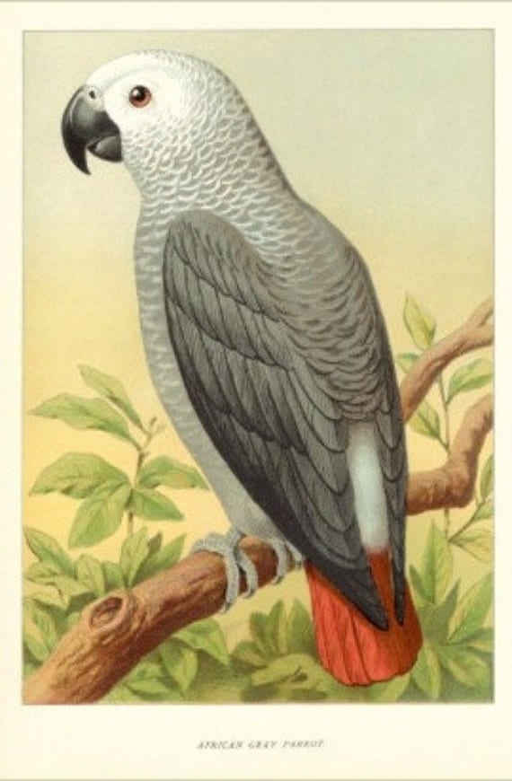 African Grey Parrot - Cross stitch pattern pdf format