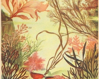 1905 Seaweeds, Algae, Red Algae, Original Antique Chromolithograph to Frame