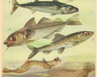 1905 Fishes, European Plaice, Sole Fish, European Flounder, Atlantic Cod, Haddock, Mackerel, Atlantic Herring Antique Chromolithograph