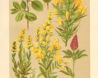 1911 Legume and Buckthorn Family, Alder Buckthorn, Gorse, German Greenweed, Dyer's Broom, Ornamental Clover Antique Chromolithograph