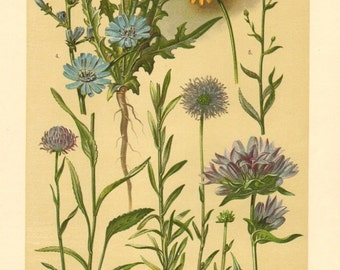 1911 Bellflower and Sunflower Family, Round-headed Rampion, Sheep's Bit Scabious, Clustered Bellflower, Common Chicory Antique Lithograph