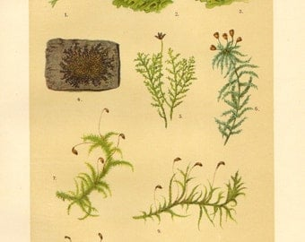 1911 Liverworts and Mosses, Crystalwort, Common Liverwort, Handsome Woolywort, Sphagnum Moss, Brachythecium Moss Antique Chromolithograph