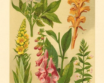 1911 Figworts, Nightshades and Broomrapes, Potato, Great Mullein, Common Hedgehyssop, Common Foxglove Antique Chromolithograph
