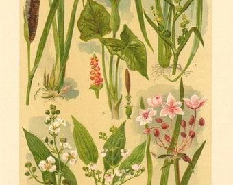1911 Bulrush, Burr Reed, Arrowhead, Common Water-plantain, Flowering Rush, Wild Arum Original Antique Chromolithograph to Frame
