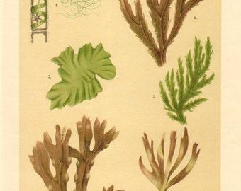 1911 Green Algae, Brown Algae, Seaweeds, Sea Lettuce, Oarweed, Bladder Wrack, Toothed Wrack Antique Chromolithograph to Frame