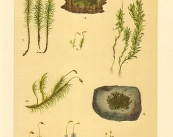 1911 Common Haircap Moss, Dotted Mnium, Funaria Moss, Truncate Pottia Moss, Pincushion Moss, Undulate Dicranum Moss Antique Chromolithograph