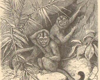 1902 New World Monkeys Original Antique Engraving to Frame