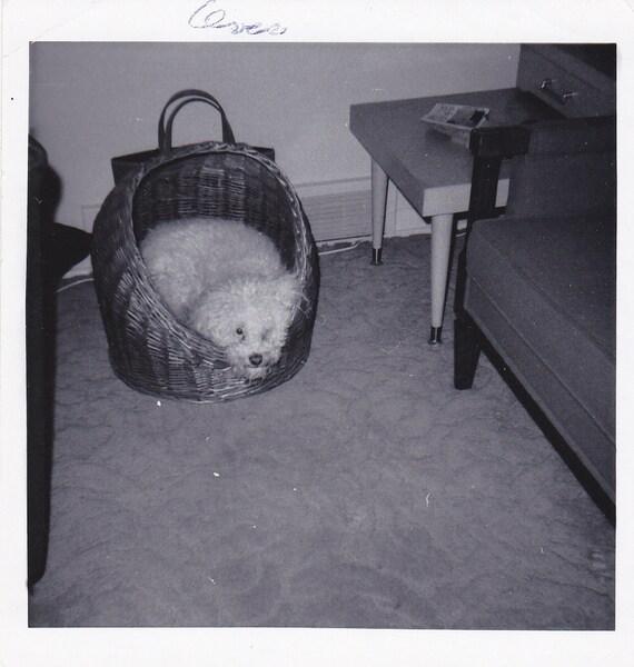 Charley in His Poodle Basket- Pet Dog- 1960s Vintage Photograph