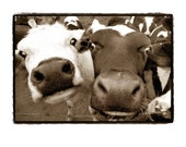 Cows, black and white, Farm, Farmland, funny, fun, silly, happy, Dairy, Sepia, Fine Art Photography Print 11X14
