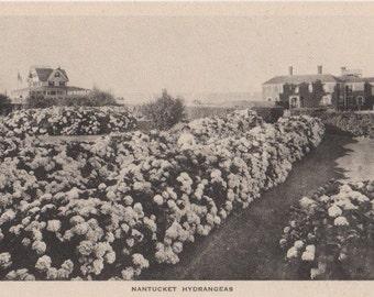 Nantucket Hydrangeas. Gardiner post card, black & white.