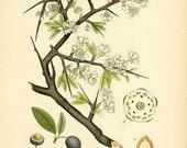 Antique 1905 Botanical Image Prunus Spinosa L. (Blackthorn) Book Plate 313 Drawing Illustration