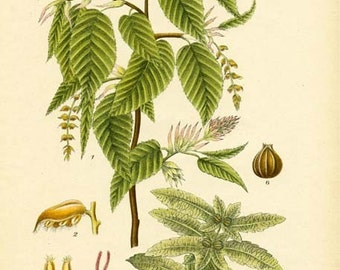 EUROPEAN HORNBEAM - Botanical Book Plate 369 Tree Illustration
