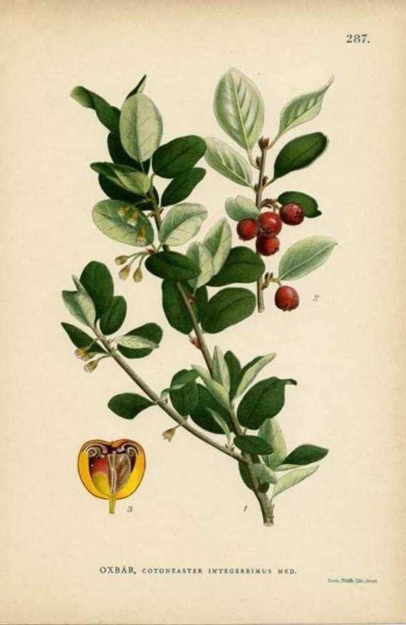 Antique 1905 Botanical Print Oxbar, Cotoneaster Integerrimus Med.