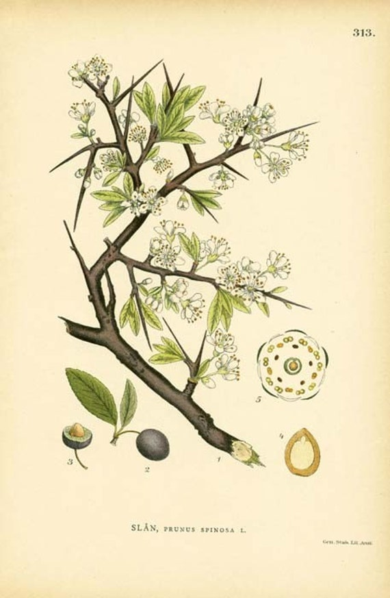 Antique 1905 Botanical Image Prunus Spinosa L. (Blackthorn) Book Plate 313 Drawing Illustration