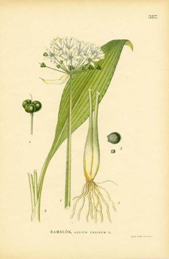 Antique 1905 Botanical Image Allium Ursinum L. (Bears Garlic) 387