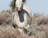 Wild Gray Stallion Running - Fine Art Wild Horse Photograph - Wild Horse - Adobe Town