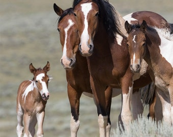 Pinto Family - Fine Art Wild Horse Photograph - Wild Horse - Fine Art Print - McCullough Peaks